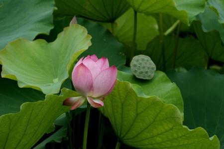 padma: Weekend stroll honghu park rain reward lotus