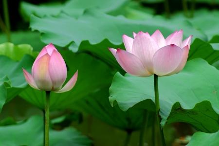 lobelia: lotus