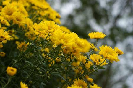 goldenrod: chrysanthemum Stock Photo