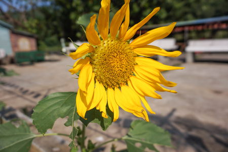 helianthus: A sunflower
