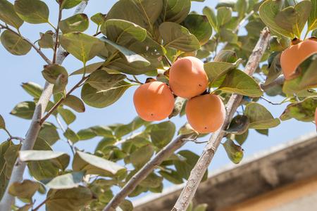 Persimmon fruits on a tree Stockfoto