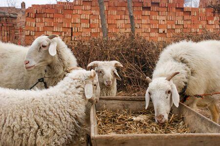 A sheep that eats grass in a sheepfold