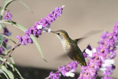 Hummingbird in Flight photo