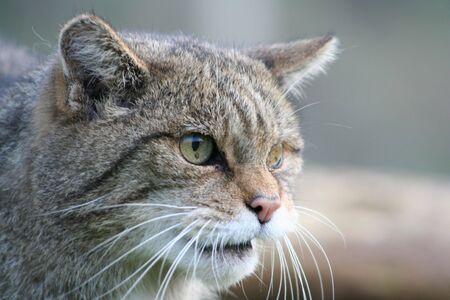 Scottish Wildcat Stock Photo - 4669771