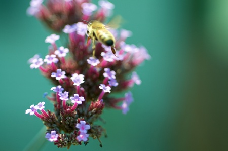 Macro shot of a bee on a flower with faded background.  photo