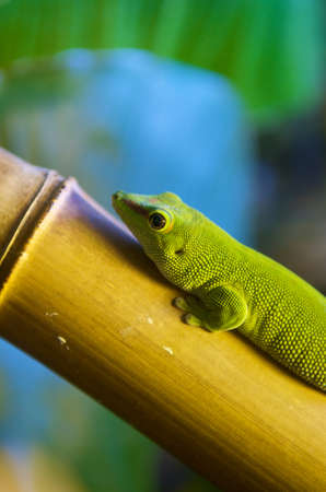 Green Lizard (Lacerta viridis) climbing on bamboo