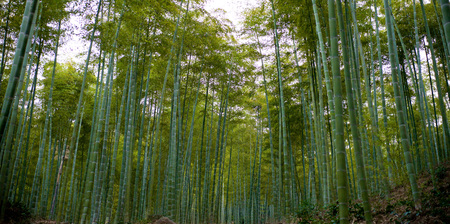 Bamboo forest natural green  Foto de archivo