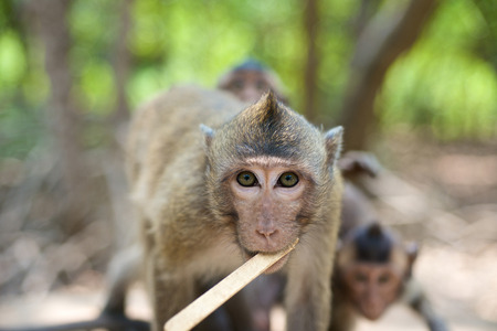 Sitting curious looking Monkeys in tropical Vietnam Stock Photo