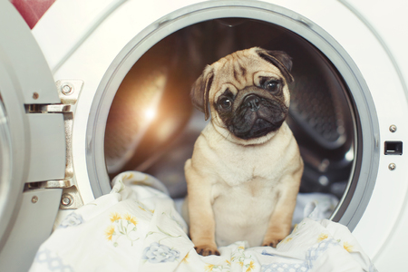Puppy pug lies on the bed linen in the washing machine.