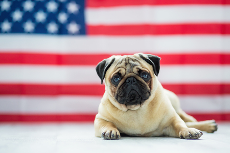 Beautiful beige puppy pug on the background of the American flag on Independence Day. 版權商用圖片