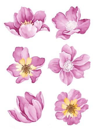 botanical drawing: watercolor illustration flower set in simple white background