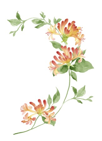 watercolor illustration Honeysuckle in simple background Stock Photo