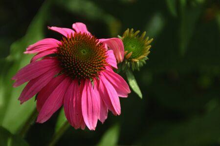 pink daisy: Pink Daisy Close Up