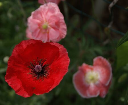 Poppies close up