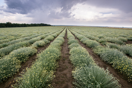 yellow herb field landscape with stormy weather