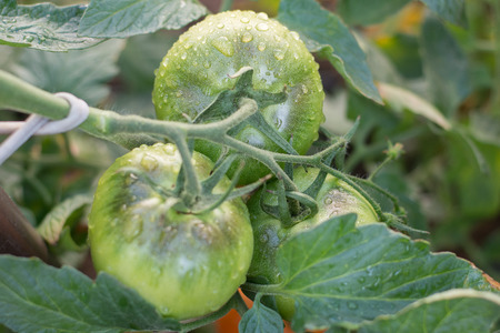Green tomatoes with water drops in a home garden
