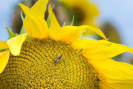 Bee collecting flower dust / polen from sunflower 免版税图像