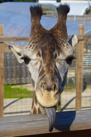 reticulata: Giraffe sticks tongue out at the close cameraman   Stock Photo