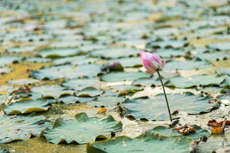 sacred lotus: sacred lotus flower in the swamp Stock Photo