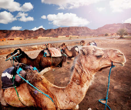 Exotic landscape with sunset in the desert. dromedary in the desert of morocco Standard-Bild