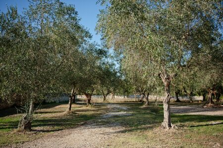 summer s Italian garden with young olive trees photo