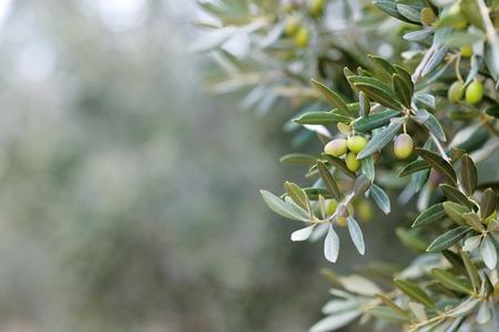 Oddział i liście drzewa oliwnego
