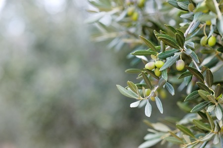Branch and leaves of an olive tree