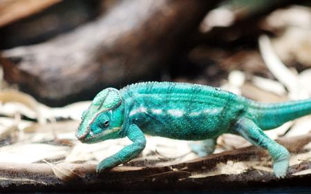 tokay gecko: Gecko reptile wild animal close up Stock Photo