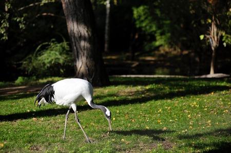 herodias: Heron bird (Ardea herodias) on a green field