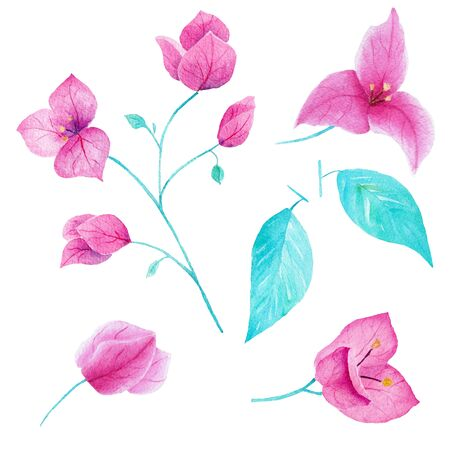 Bouganvillea flower hand drawn watercolor collection on white background. Can be used for card,decoration,invitation,printing.