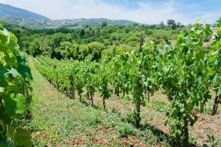 Unripe branches of green grapes in a vineyard on a summer day in southern Italy. Cultivated fruit in the garden.
