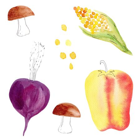 Hand drawn colorful vegetables watercolor illustrations set. Corn, beet, mushrooms and sweet pepper isolated on white background pack. Fall, autumn, harvesting season, vegetarian food