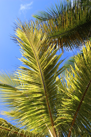 coconut palm photo