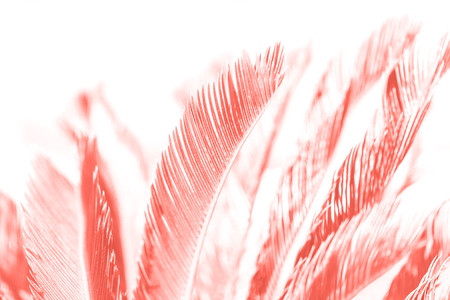 Trendy living coral color of year 2019 hemp palm tree leaves in sunshine macro, background