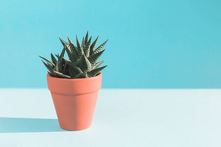 One cactus in clay pot on sunlit blue background with sun shadow. Environment friendly summer or spring time minimal design concept with copy space