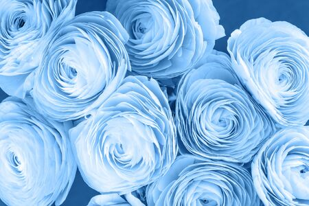 Shades of blue colored feminine peony, rose or buttercup flowers with delicate layered petals close up. Natural textured monochromatic spring or summer background for Mothers, Valentines or womens Day Stok Fotoğraf