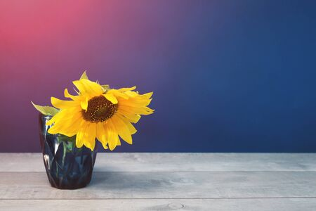 One sunflower in blue water glass on blue background. Vibrant flowers greeting card backdrop with copy space. minimal banner with pink blue gradient