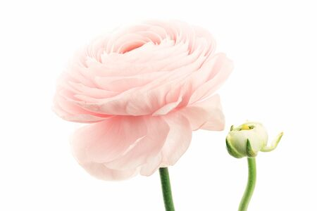 Pink colored feminine peony, rose or buttercup flower with delicate layered petals close up isolated. Natural textured background Banco de Imagens