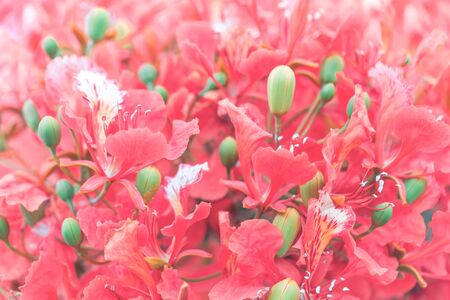 Red and pink royal poinciana tree flowers in full bloom backdrop for spring and summer, Valentines 8 March Womens or Mother Day celebration greeting card or banner Banco de Imagens