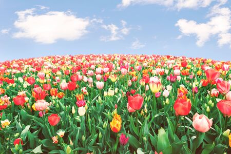Endless panoramic field flower bed of many red and yellow tulips under blue sunny sky. Spring Easter floral backdrop with copy space