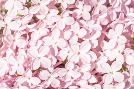 tender monochrome lilac flowers in bloom. sunny spring or summer close up background with selective focus, spring concept with copy space. Pink floral backdrop or invite