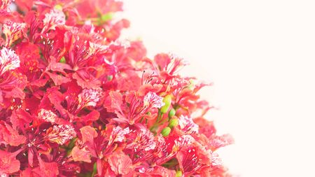 Red and pink royal poinciana tree flowers in full bloom backdrop for spring and summer, Valentines 8 March Womens or Mother Day celebration greeting card or banner with copy space