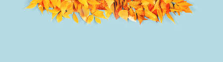 Autumn season banner. Yellow and bright orange autumn leaves flat lay on blue. Thanksgiving, fall harvest time concept with copy space.