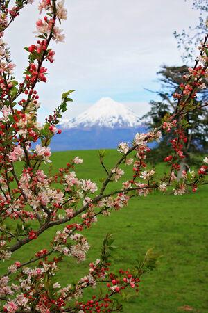 egmont: spring cherry tree blossom Mount Egmont, New Zealand