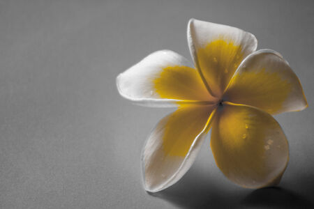 fresh frangipani with a few drops of water on petals with a grey background