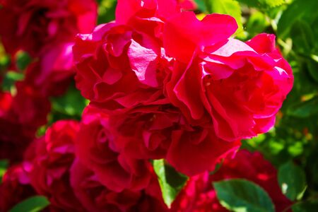 Lots of red roses close up. Beautiful natural background. High quality photo Фото со стока