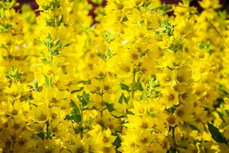 Yellow flowers of asterisk close-up