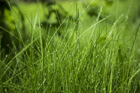 spica: green grass and water drops after rain, background