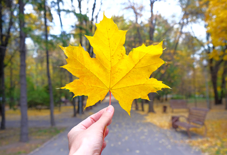 yellow maple leaf in a hand in autumn Stock Photo