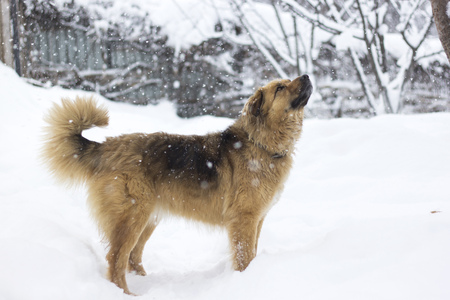 Cute big fluffy dog in the snow looking up Stock Photo